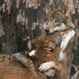 DAL MONDO – in Spagna puoi sparare a un lupo pagando 3.500 euro