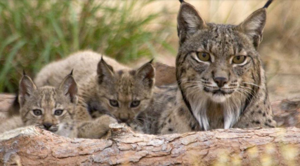 SPAGNA: Identificato il cacciatore che ha ucciso la lince Nenúfar