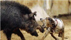 ALTRI ASPETTI: Malattia mortale dei cani si diffonde in Romagna