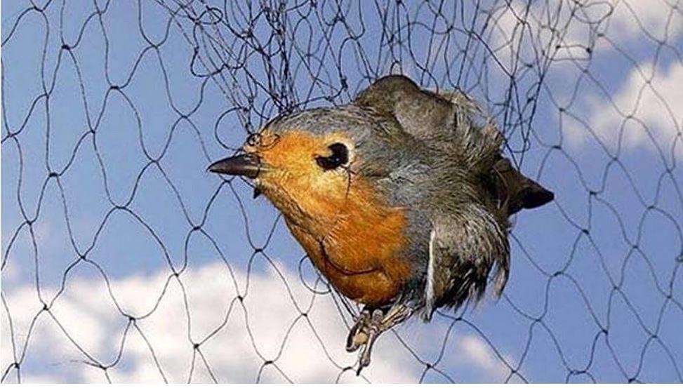 Consiglio di Stato: catturare uccelli da richiamo è vietato!
